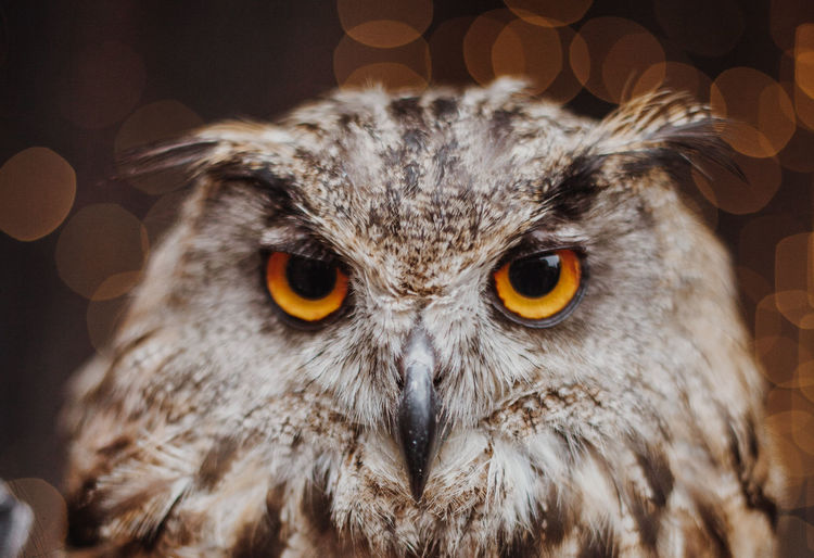 Animal Head  Animal Themes Animal Wildlife Animals In The Wild Beak Bird Bird Of Prey Close-up Indoors  Looking At Camera Night No People One Animal Owl Portrait