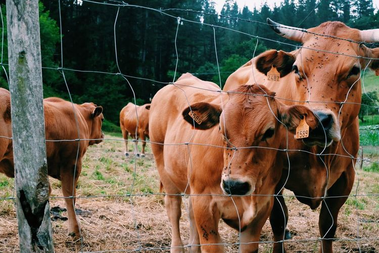 EyeEm Selects Animal Themes Mammal Domestic Animals Animal Group Of Animals The Great Outdoors - 2018 EyeEm Awards Domestic Fence Pets Vertebrate Nature Cow Day