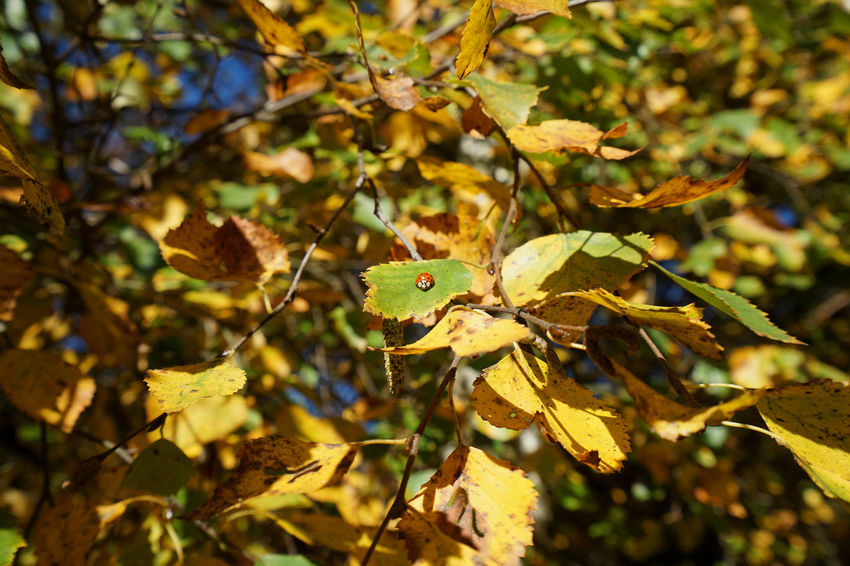 Fading glow of autumn Autumn Autumn Colors Beauty In Nature Branch Close-up Day Growth Ladybug Leaf Nature No People Outdoors Sitting In The Sun Sunlight Tree