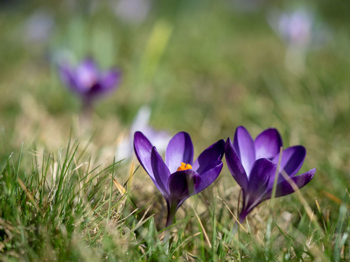 Close-up of crocus flowers Flower Head Outdoors Flower Flowering Plant Beauty In Nature Close-up Crocus Grass Purple Selective Focus Fragility