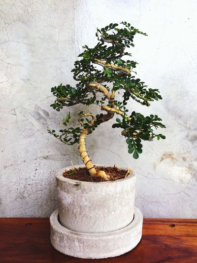 EyeEmNewHere Blackground EyeEm Nature Lover Plant Growth Tree Bonsai Tree Potted Plant Nature No People Wall - Building Feature Table Decoration Beauty In Nature Green Color Leaf Plant Part Wood - Material White Color Botany Day Houseplant Indoors