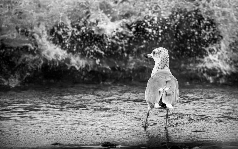 Nature Seagull Seascape Seagulls And Sea Waves Waves, Ocean, Nature Monochrome Photography Monochromatic Monochrome Animal Wildlife Wildlife & Nature Wildlife Photography Grayscale Light And Shadow Capture The Moment Capturing Freedom Free Freedom Birds Focus On Foreground Selective Focus No Colors Sea Life No People