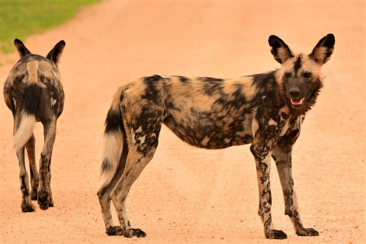 African Wild Dogs Standing On Dirt Road