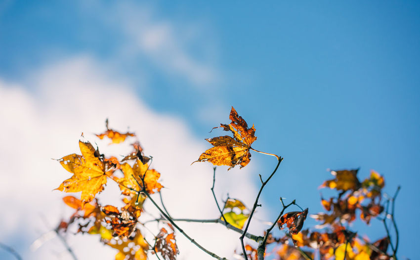 Low angle view of yellow maple leaves against sky