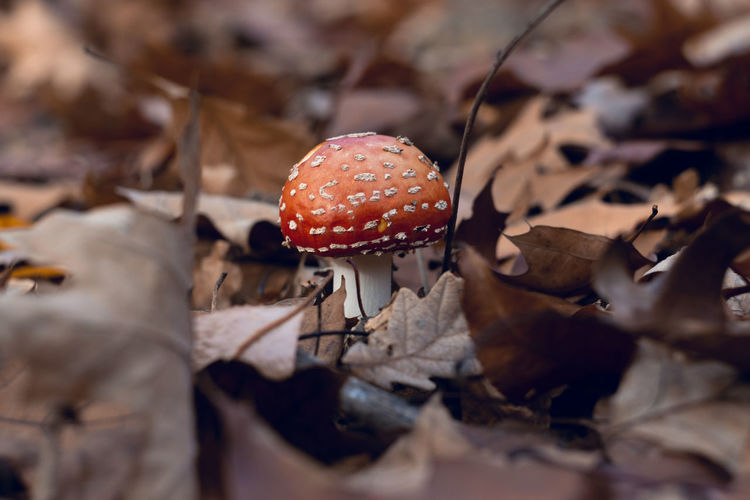 Mushroom Fungus Leaf Vegetable Plant Part Land Food Fly Agaric Mushroom Close-up Selective Focus No People Dry Plant Autumn Growth Nature Toadstool Beauty In Nature Field Day Outdoors Leaves Change Poisonous