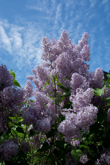 Lilacs blossoming on a tree and blue sky, Sweden in May. Lilac Bush Beauty In Nature Close-up Day Flower Flower Head Fragility Freshness Growth Lilac Flowers Lilacs Nature No People Outdoors Sky Springtime Tree