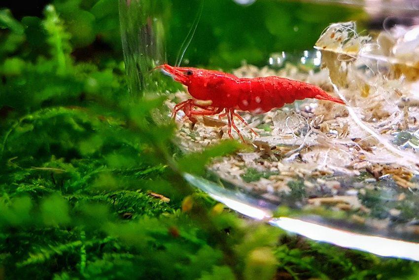 Cherry Red Shrimp Aquarium Photography Aquariumlife Aquarium Samsunggalaxys7edge Cherry Red Shrimps Mulberry Leaves Feeding Time Smartfonefoto Brightred Bokeh Red Nature Beauty In Nature Close-up EyeEm Ready