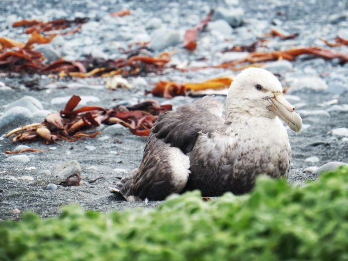 Southern Giant Petrel Sub Antarctics Macquarie Island Southern Giant Petrel Petrel Fulmar Bird Animals In The Wild Animal Wildlife Nature One Animal Animal Themes Outdoors No People Beauty In Nature