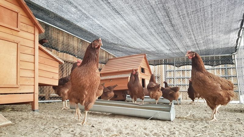 Bird Animal Themes No People Outdoors Built Structure Day Livestock Horizontal Farm Fresh Healthy Food Healthy Eating Chickens Chicken Coop Hens Hens And Chickens Rooster Roosters And Hens Pecking Order Hen Cage Domestic Animals