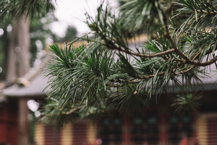 A rainy day in Nikko, Japan. Japan Japanese Traditional Japanese Temple Beauty In Nature Branch Close-up Coniferous Tree Day Focus On Foreground Green Color Growth Nature Needle - Plant Part No People Outdoors Pine Tree Plant RainDrop Rainy Season Selective Focus Temple Tree