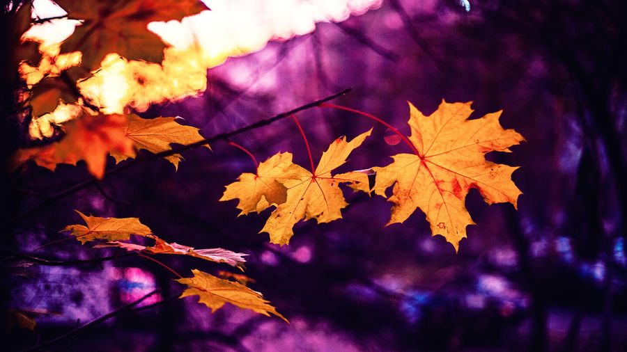 Autumn Autumn Collection Beauty In Nature Branch Change Close-up Day Fall Focus On Foreground Fragility Growth Leaf Leaf Vein Leaves Maple Leaf Maple Tree Natural Condition Nature No People Outdoors Plant Plant Part Purple Tree Vulnerability
