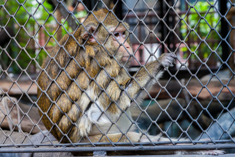 Animal Animal Themes Animal Wildlife Animals In Captivity Animals In The Wild Barrier Chainlink Fence Fence Focus On Foreground Mammal Monkey No People One Animal Outdoors Primate Protection Security Vertebrate Zoo