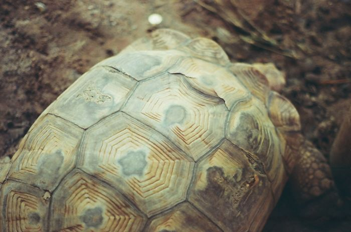 Close up, Golden Tortoise in zoo, Its a beautiful pattern. Background Top View Film Turtle Animal Lasting Long Nature Soil Walk Zoo Fram Old Slow Tortoise Tortoise Shell Reptile Animal Animal Wildlife Animals In The Wild One Animal Animal Themes Outdoors Pets Close-up