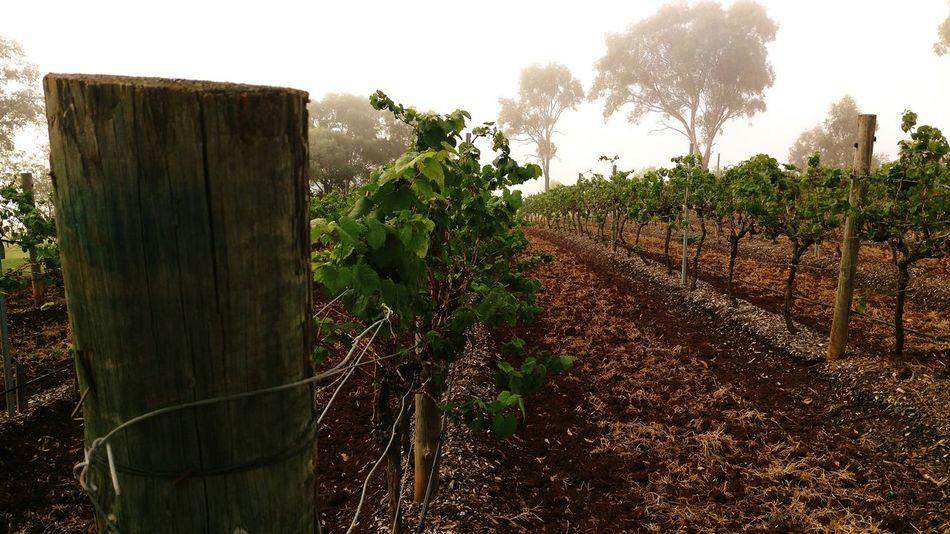 Morning Light Foggy Morning Vineyard Vines Vineyardvines Outdoors Taking Photos Australia Nature No People Gum Trees Perspective Vanishing Point
