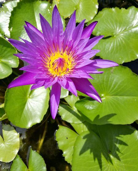 Lotus Water Multi Colored Leaf Water Lily Petal Springtime Lotus Water Lily
