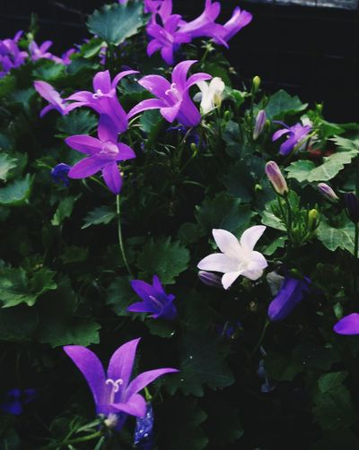 Campanula love... Pretty Bellflower Purple Flower White Flower Lush Foliage Trailing Plant Potted Plant