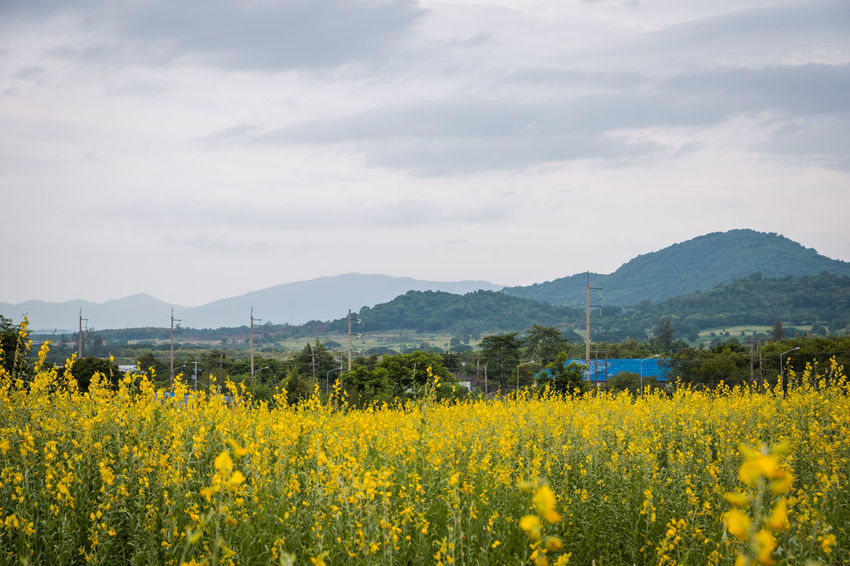 Agriculture Beauty In Nature Crotalaria Juncea Environment Field Flower Flowering Plant Growth Land Landscape Mountain Mountain Range Nature No People Oilseed Rape Plant Rural Scene Scenics - Nature Sky Sunn Hemp Tranquil Scene Tranquility Yellow