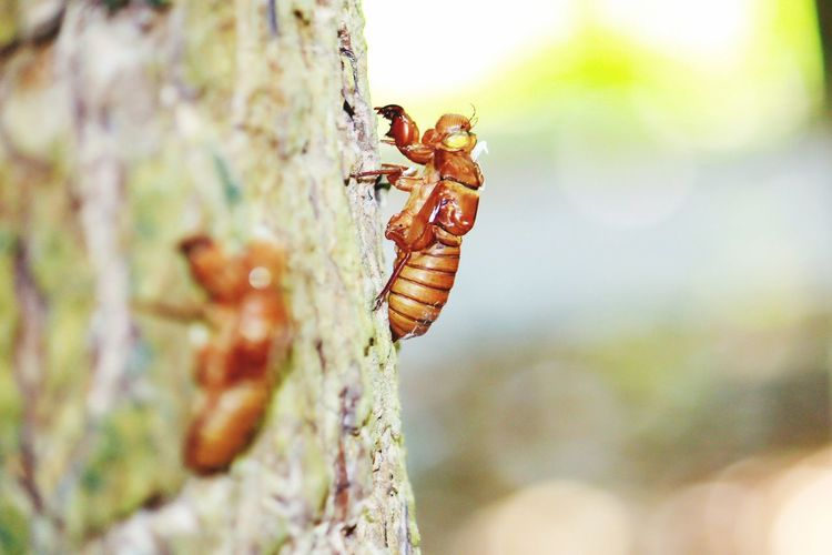 Molting.The past of Cicada. Molting