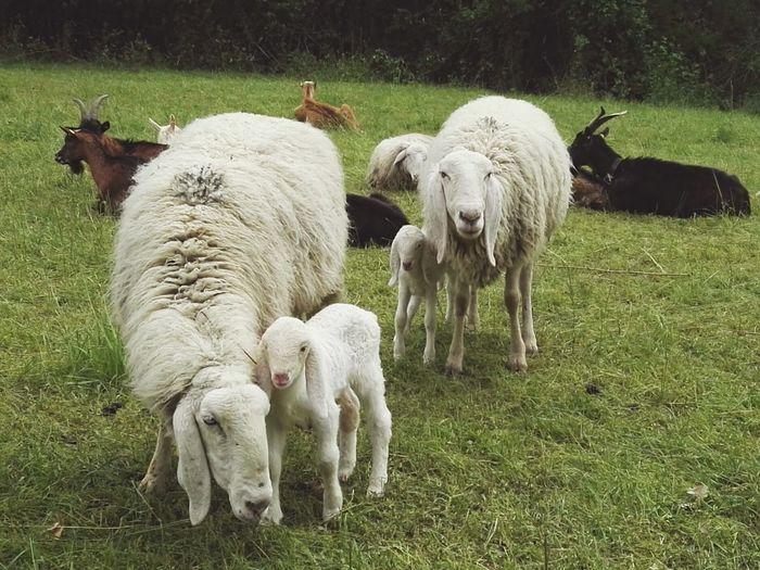 #naturelove #green #sheep