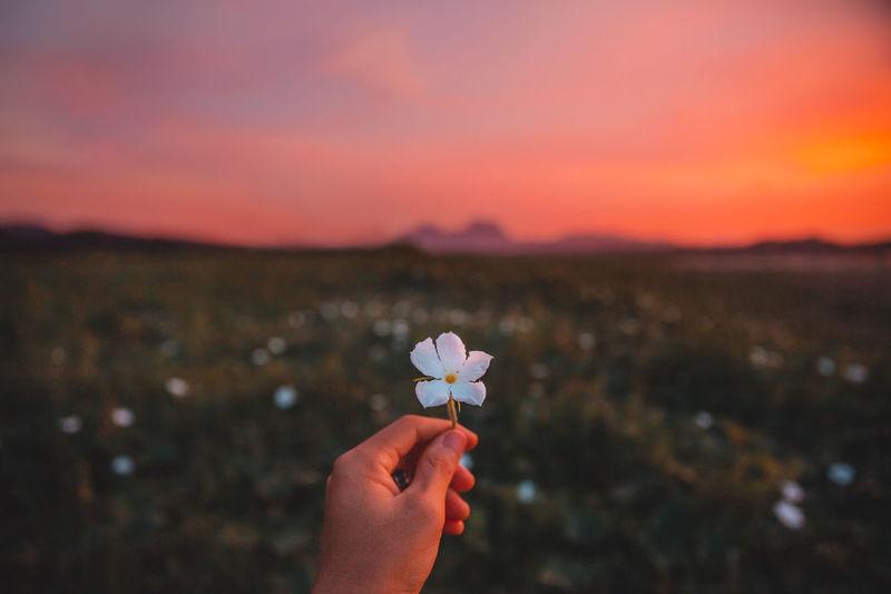 Cropped hand holding purple flower against orange sky