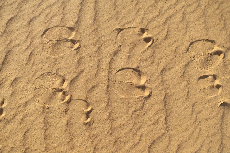 Foot print os a camel in perfect clar sand of Sahara desert Foot Prints Camel Africa Desert Sandy Animal Mammal Pattern, Texture, Shape And Form Sand Land Beach Nature Text No People Pattern Sunlight Day Backgrounds Outdoors Travel Destinations Full Frame Holiday Number Trip Water Vacations Arid Climate