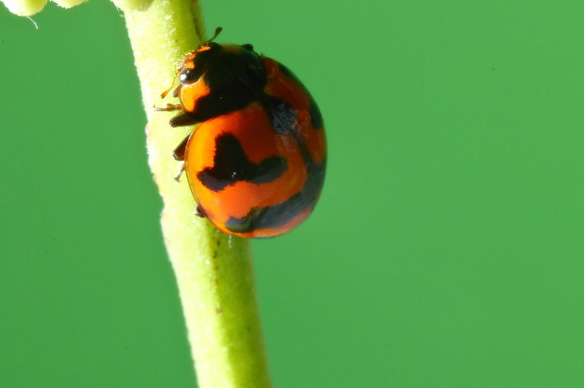 Animal Animal Themes Animal Wildlife Animals In The Wild Backgrounds Beauty In Nature Beetle Close-up Colored Background Copy Space Focus On Foreground Green Background Green Color Insect Invertebrate Ladybug Nature No People One Animal Plant Plant Stem
