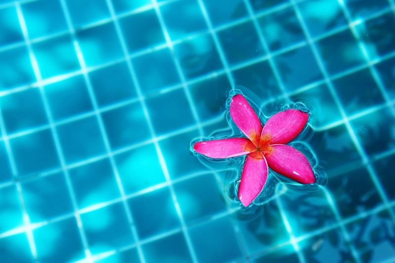 In the pool Petal Flower No People Beauty In Nature Flower Head Fragility Close-up Freshness Nature Periwinkle Day Growth Outdoors Swimming Pool Frangipani