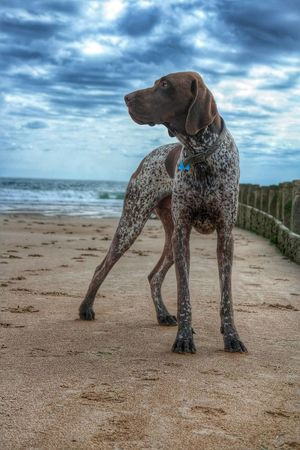 My regal pup. Gsp Germanshorthairedpointer Coast Sky Collection