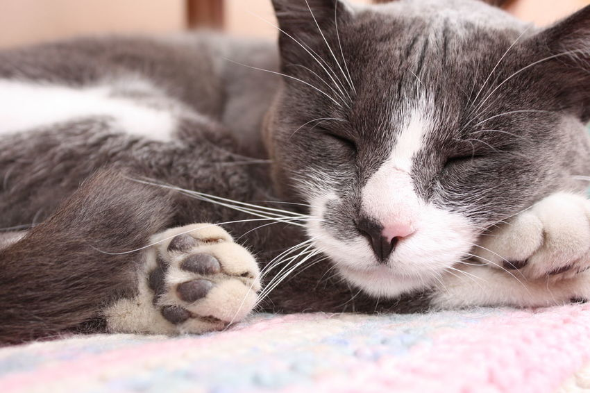 Animal Themes Cat Close-up Day Domestic Animals Domestic Cat Eyes Closed  Feline Indoors  Mammal No People One Animal Pets Relaxation Sleeping