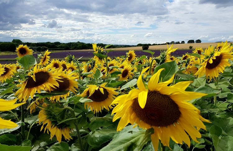 Sunflower Flower Cloud - Sky Growth Flower Head Beautiful View Sunflowers
