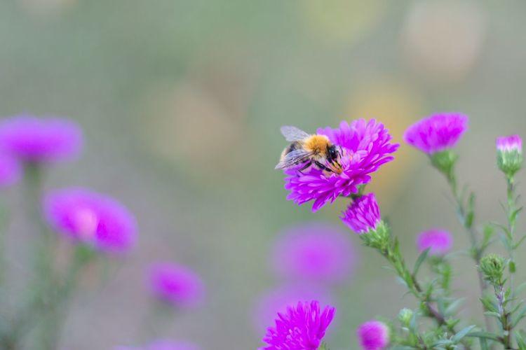 Flower Insect Pink Color Beauty In Nature Nature Bee Blumen Biene Garten