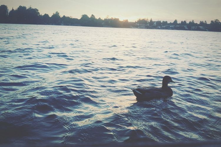Ducks are so cute 🐈 Water Sunset Duck Summer Lake TBT