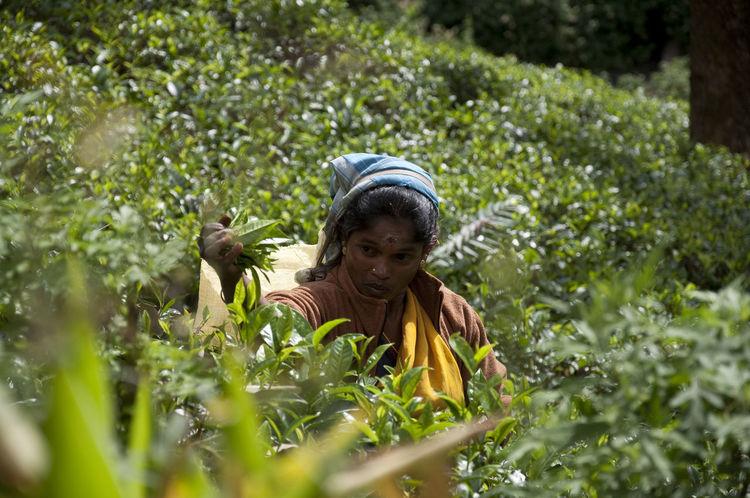 Femaile Tea Harvester Agriculture Exploitation Harvest Person Plant Sri Lanka SriLanka Tea Woman At Work Working Hard Tea Tea Time