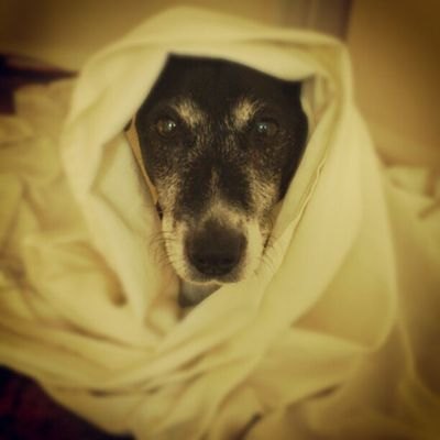 It's baby Jesus! Jr Jackrusselterrier Jackrussell Jackrussel terrier dogs dogs