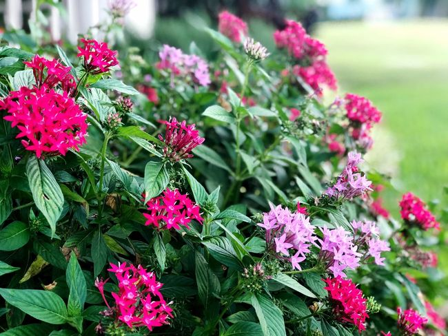 Flowering Plant Flower Plant Beauty In Nature Growth Vulnerability  Fragility Freshness Pink Color Nature Green Color Focus On Foreground Close-up Inflorescence Outdoors Flower Head Leaf Plant Part Day