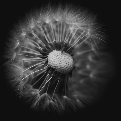 Moody EyeEm Nature Lover EyeEm Nature Collection Nature Photography Nature_collection Nature EyeEm Nature Lovers Flower Flowering Plant Freshness Fragility Vulnerability  Dandelion Flower Head Close-up Inflorescence Plant Beauty In Nature Growth Selective Focus No People Dandelion Seed Softness Pollen Petal Black Background The Minimalist - 2019 EyeEm Awards The Great Outdoors - 2019 EyeEm Awards