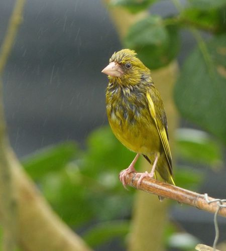 I am wet! ,,greenfinch. One Animal Perching Animals In The Wild Animal Themes Bird Wildlife Selective Focus Nature Beauty In Nature Avian Animals In The Wild No People Bird Photography Birds Of EyeEm  Birdwatching