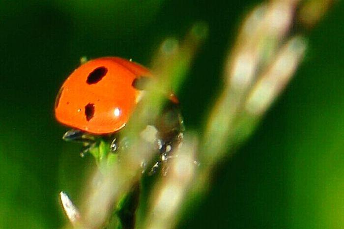 Ladybug Ladybugs Ladybug🐞 Ladybugmacro Insect Photography Macro_collection Macro Nature Macro Insects Finland Summer