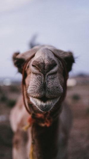 Close-up portrait of a camel