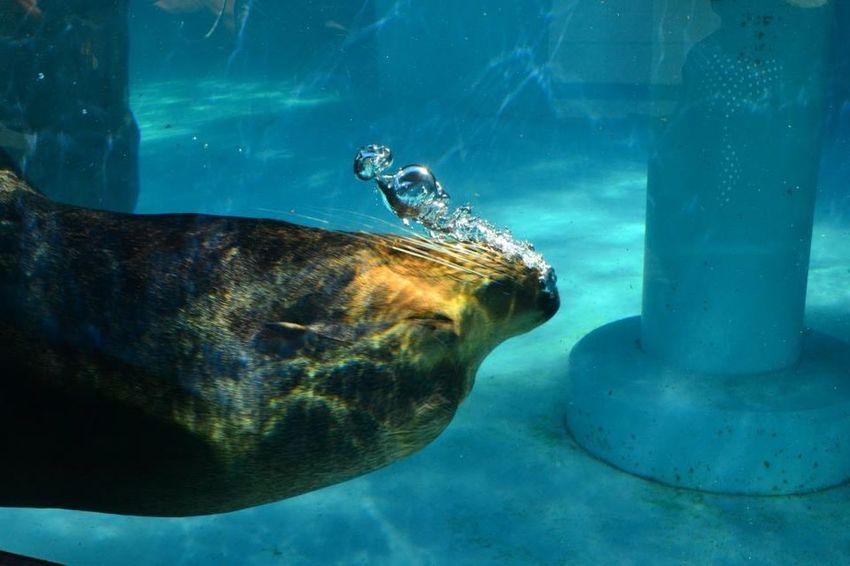 Seaworld Aquarium 水族館 アザラシ Swimming 単焦点 単焦点レンズ Singlefocus