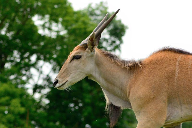 Antelope standing against trees