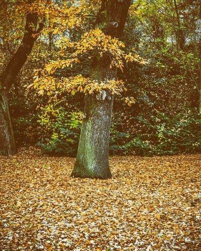 Autumn 🍂 Tree Goldener Herbst Laub Baum Herbststimmung Herbst Treetrunk Tree Plant Nature No People Day Growth Outdoors Plant Part Leaf Beauty In Nature Tranquility Autumn Falling Park - Man Made Space Park