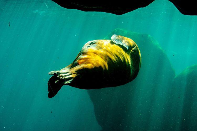 Walrus Walrus Water Sea Underwater One Animal Swimming Animals In The Wild Animal Themes Animal Sea Life Animal Wildlife UnderSea Vertebrate Marine Nature No People Outdoors Day Motion