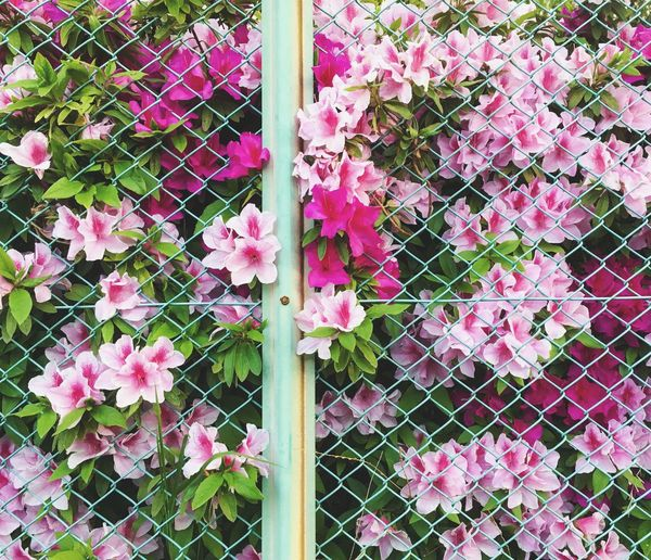 Flower Pink Color Blooming Fence