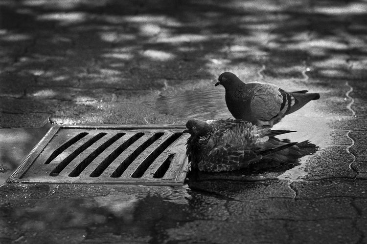 Bird Bath Analog Ultrafine Extreme 400 Film Photography Film Bird Bath City City Life Cooling Off Feathers Hot Day Sidewalk Animal Animals In The Wild Bird Bird Feathers City Day Focus On Foreground Group Of Animals Nature No People Outdoors Perching Pigeon Relax Rock Dove Sewer Sewer Drain Two Animals
