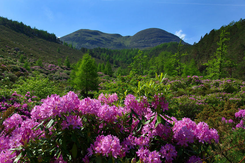Scenic Beauty of Torridon Beauty In Nature Ben Climbing Climbing A Mountain Flower Growth Hills Landscape Mountain Nature No People Outdoors Pink Flowers Rhododendrons Scenics Sky Torridon Mountains Tourist Destination Walking Wester Ross