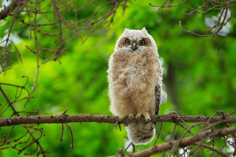 Great Horned Owlet Great Horned Owl Owlet Green Bird Photography Raptor Animal Wildlife Wildlife Photography Tree Perching Branch Forest Bird Animal Themes Owl Bird Of Prey