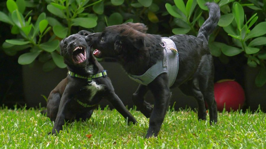 Dogs Fighting On Grassy Area