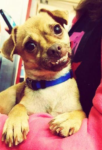 Pets Dog Looking At Camera Cãozinho Sorriso First Eyeem Photo