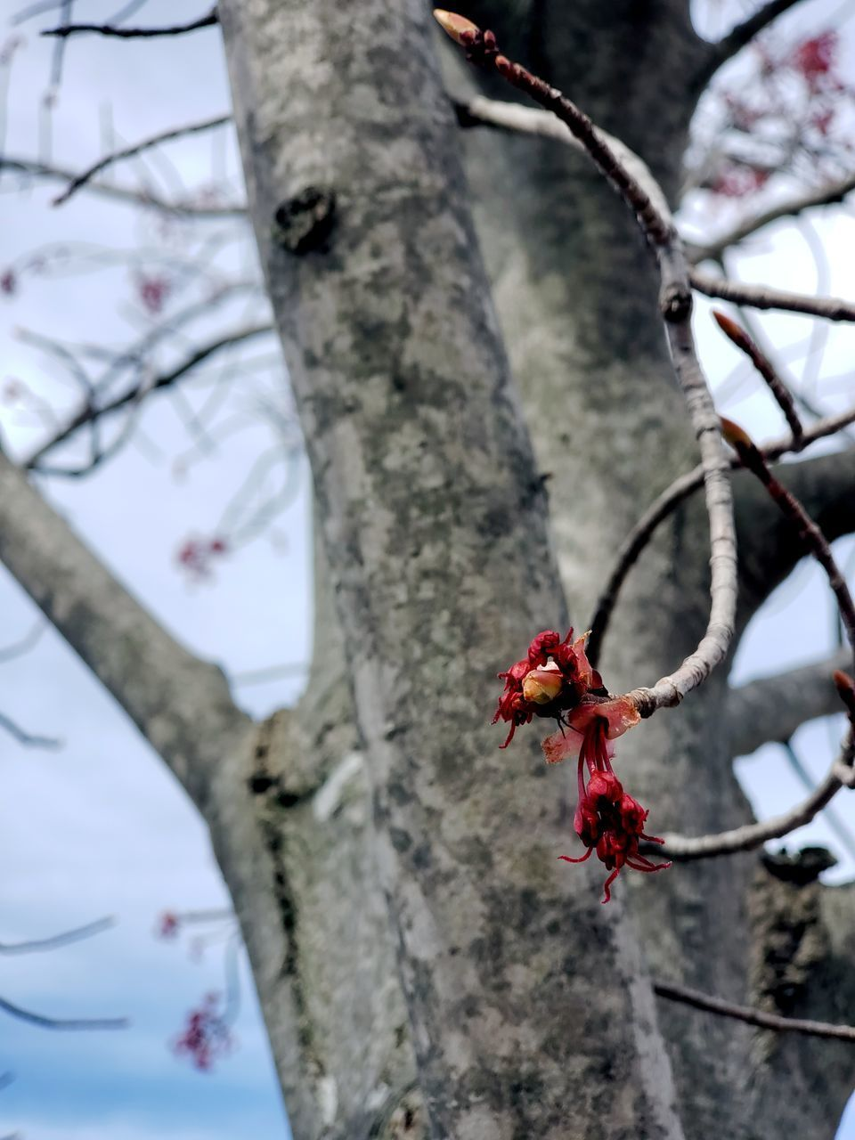tree, plant, flower, branch, nature, flowering plant, no people, focus on foreground, red, growth, beauty in nature, day, tree trunk, close-up, low angle view, outdoors, trunk, fragility, freshness, vulnerability, springtime, cherry blossom, cherry tree